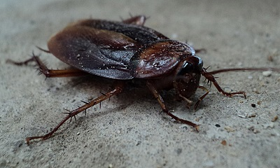The Invincible Cockroach