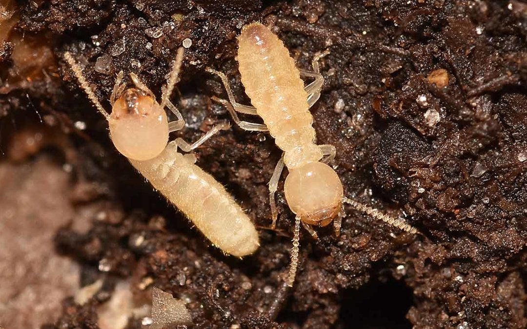 All About Termites