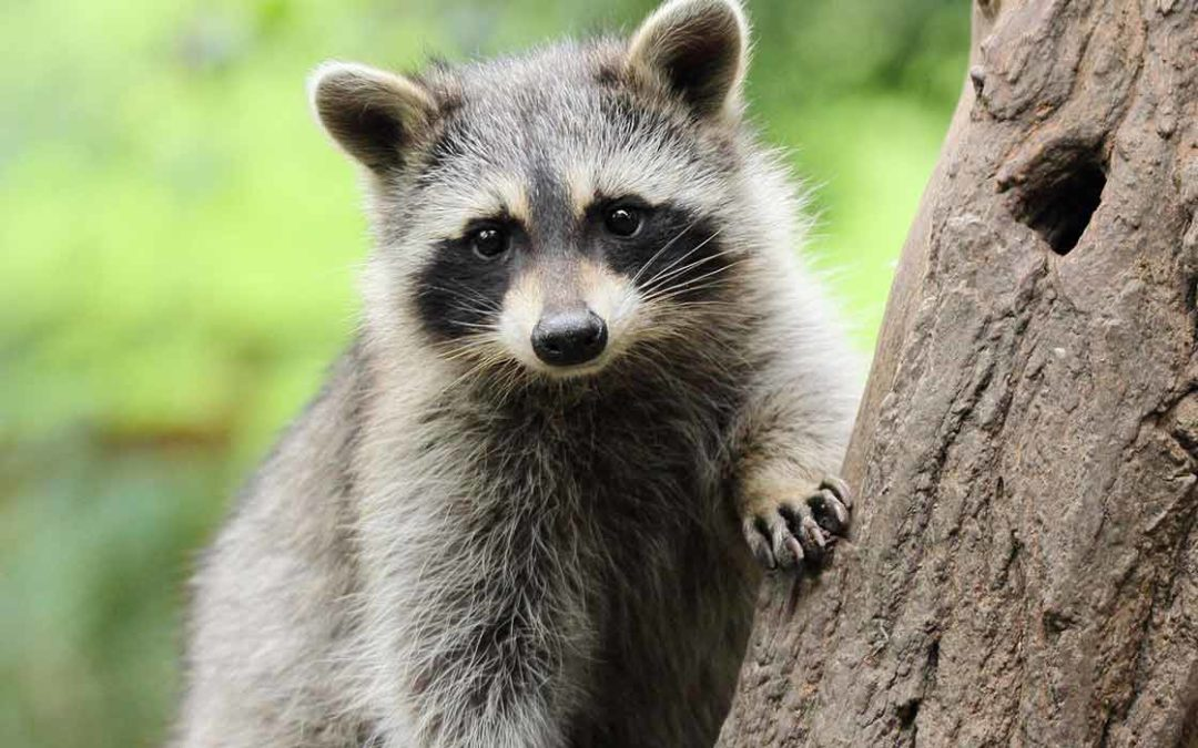 Advice to Prevent and Get Rid of Raccoons
