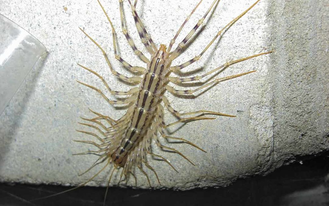 Why Centipedes Come into Our Homes