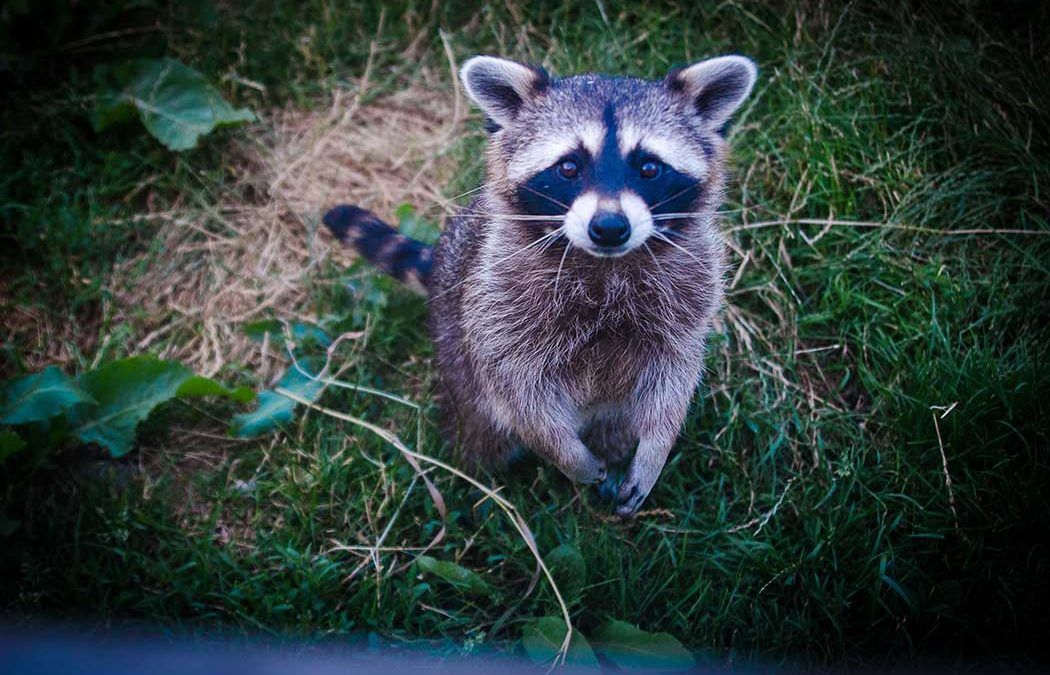 How to Prevent and Get Rid of Raccoons from Your Yard