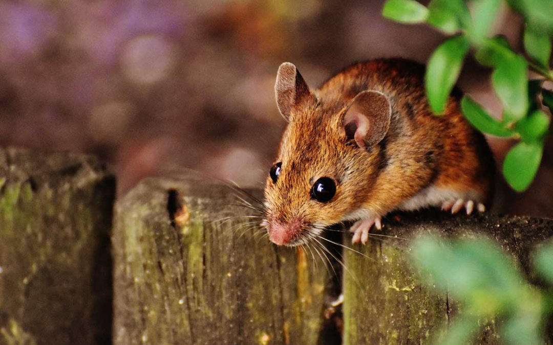 How to Spot Mice or Rats in the Home