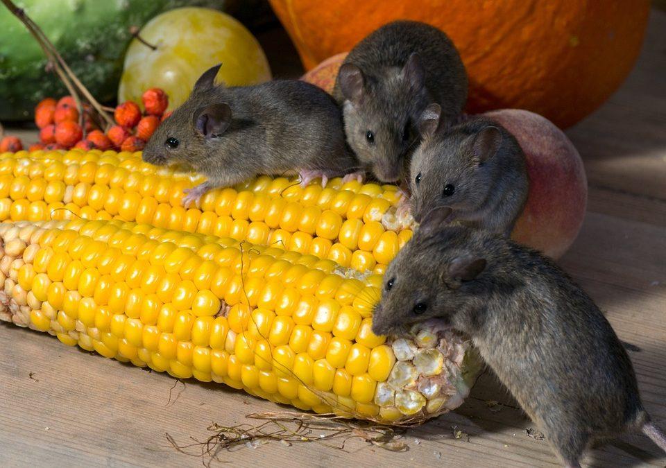 Hamilton mice control