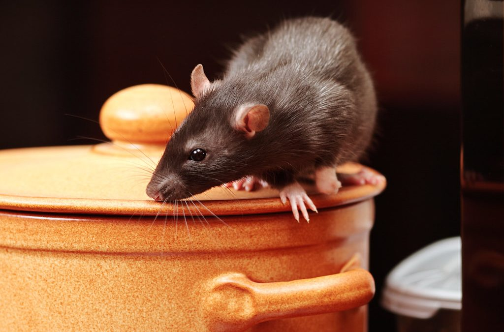 Why you need professional pest control services for rat